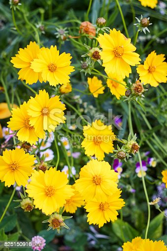 Coreopsis yellow blossoms and green leaves close up