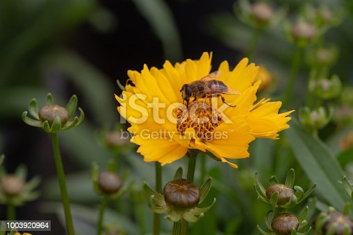 Coreopsis yellow flower with Bee