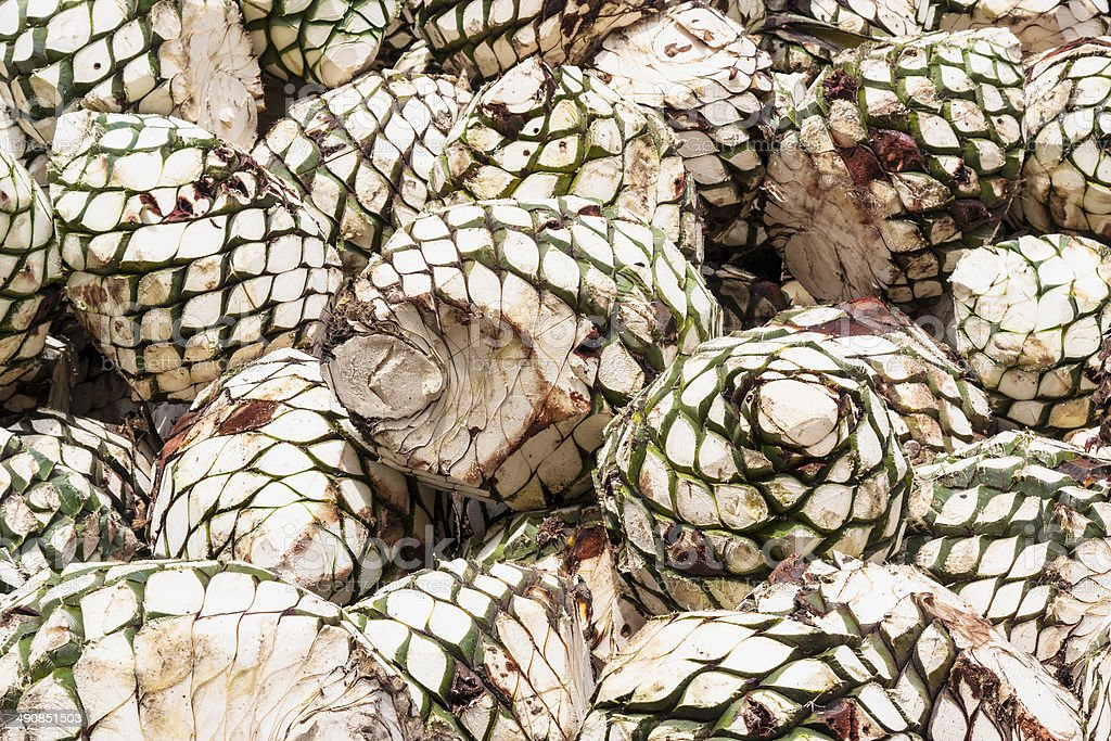 Cores of Agave tequilana for tequila production stock photo