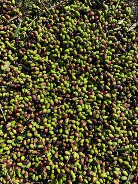 Corfoit Olives stock photo