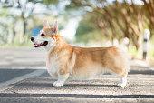 istock Corgi dog in summer sunny day 900608030