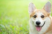 istock Corgi dog on the grass in summer sunny day 1009993722