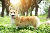 istock Corgi dog on the grass in summer sunny day 1056223884