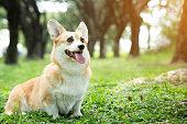 istock Corgi dog on the grass in summer sunny day 1063343030
