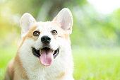 istock Corgi dog on the grass in summer sunny day 1065836030