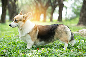 istock Corgi dog on the grass in summer sunny day 1088655840