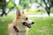 istock Corgi dog on the grass in summer sunny day 1160576744