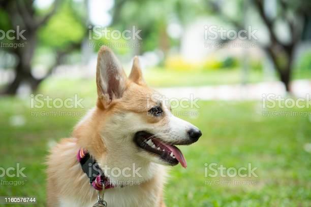 Corgi dog on the grass in summer sunny day picture id1160576744?b=1&k=6&m=1160576744&s=612x612&h=sigoxalr7hhtz2s uqvskxph nxwvhvzmhgncuoxgtk=