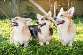 istock Corgi dog on the grass in summer sunny day 656905342