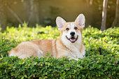 istock Corgi dog on the grass in summer sunny day 657273874