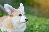 istock Corgi dog on the grass in summer sunny day 687674954