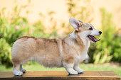 istock Corgi dog on the grass in summer sunny day 840574736