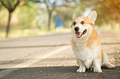 istock Corgi dog on the grass in summer sunny day 902401424