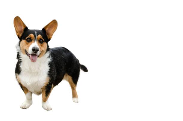 corgi pembroke hund auf weißem hintergrund - welsh corgi pembroke stock-fotos und bilder