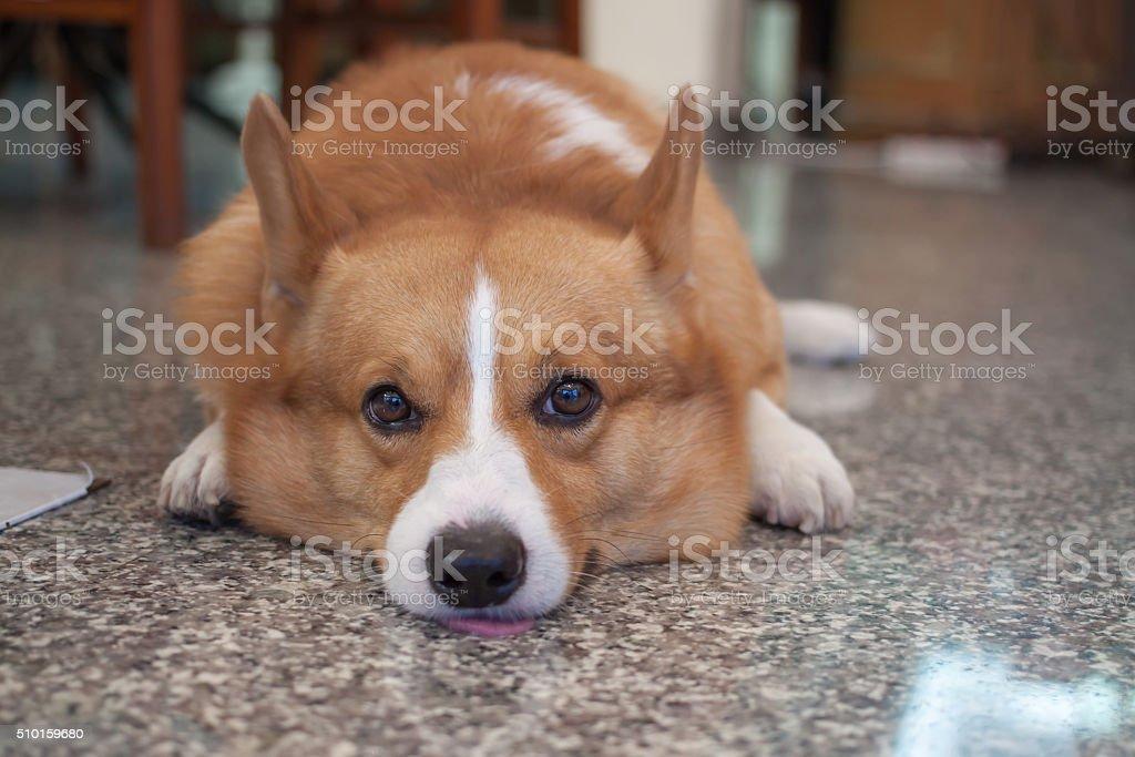 Corgi Dog stock photo