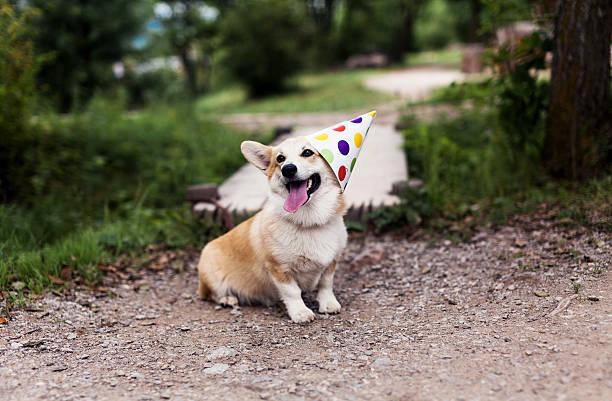 corgi pembroke hund  - welsh corgi pembroke stock-fotos und bilder