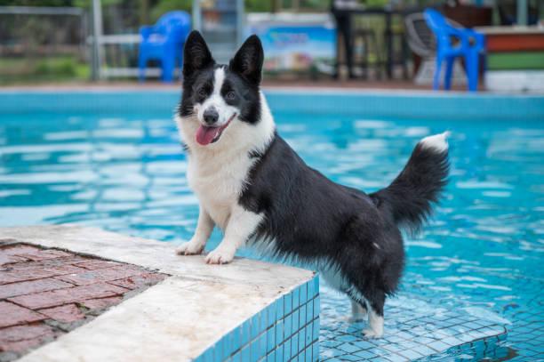 Corgi dog playing by the pool – zdjęcie