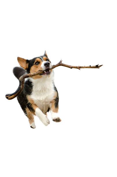 Corgi dog running with a stick cut out picture id875508558?b=1&k=6&m=875508558&s=612x612&w=0&h=bv7frmbkagdfk162n0k1e3hzstzsf45kj7oa1h8pwtc=