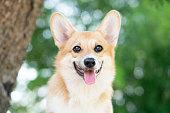 istock Corgi dog smile and happy in summer sunny day 1226250065