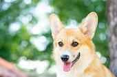 istock Corgi dog smile and happy in summer sunny day 1226250119