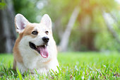 istock Corgi dog smile and happy on the grass in summer sunny day 1000831562