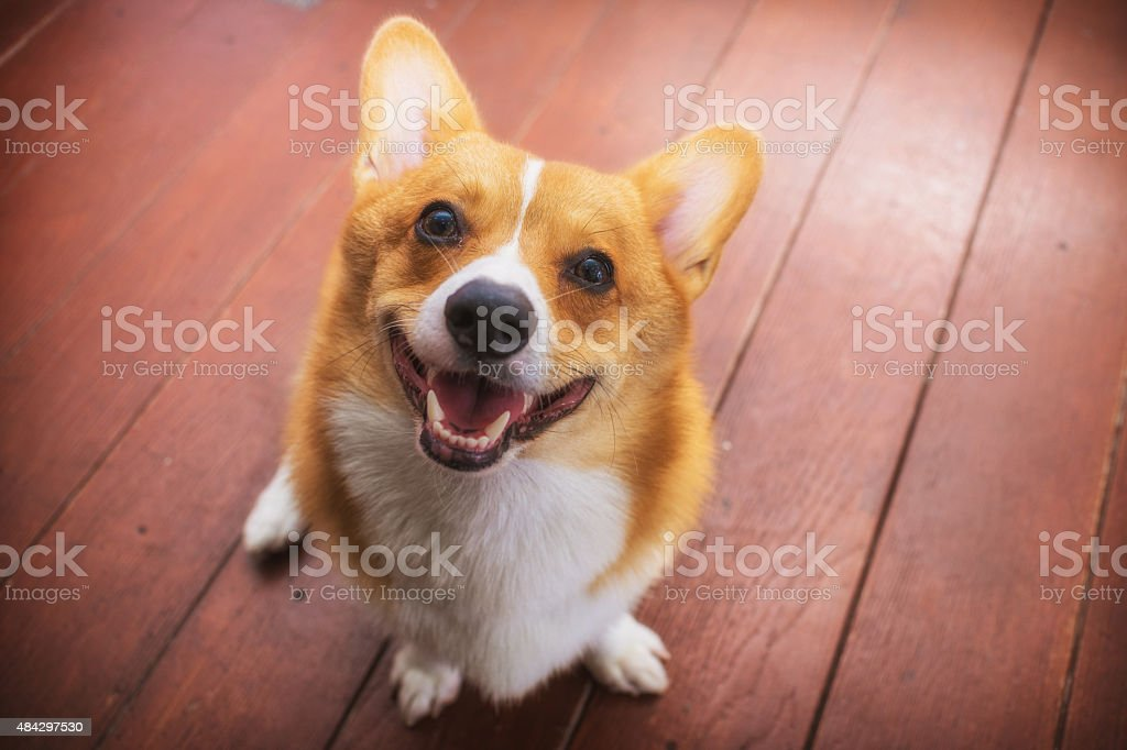 Corgi dog soft focus Classic tone stock photo