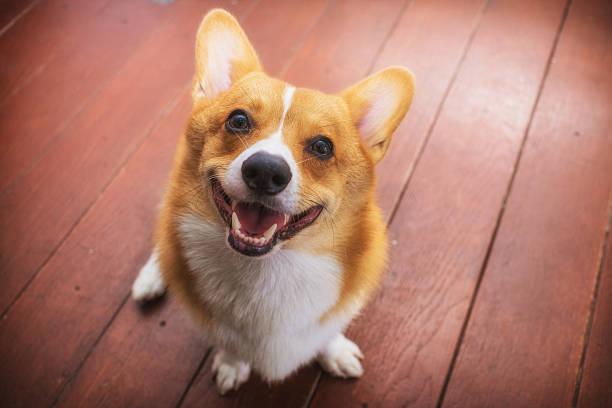 corgi hund weichzeichner klassischen ton - welsh corgi pembroke stock-fotos und bilder