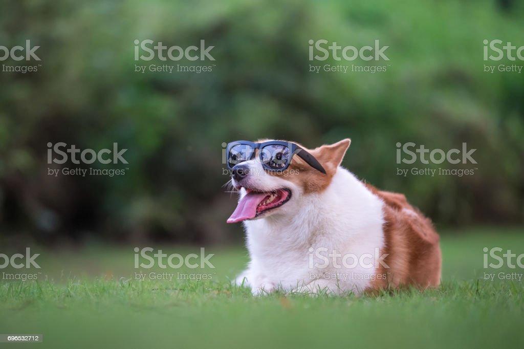 cachorros de Corgi brincando no parque foto royalty-free