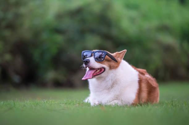 corgi hunde spielen im park - welsh corgi pembroke stock-fotos und bilder