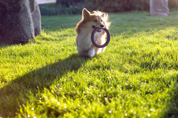 Corgi fluffy close up portrait with his toy at the outdoor picture id954817148?b=1&k=6&m=954817148&s=612x612&w=0&h=9viijv sb0vhshawa0h8 1repzuj1mbqmuy36fw1ndc=