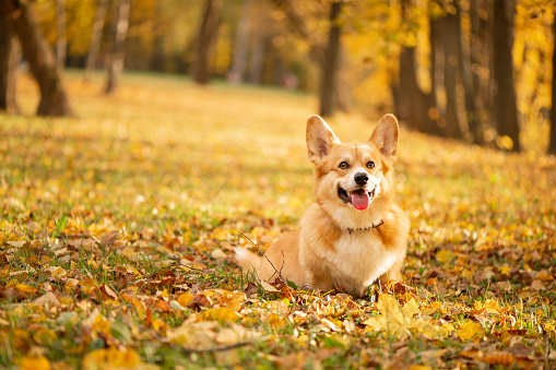 Corgi  in the autumn park on the fallen gold leaves background