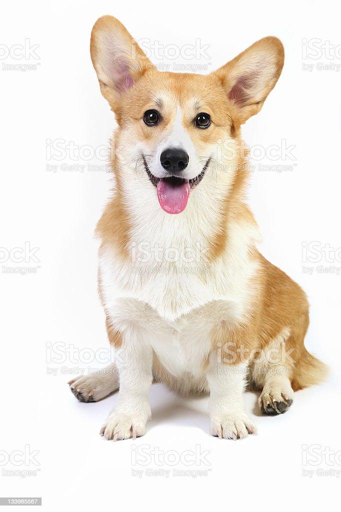 Corgi pembroke dog stock photo