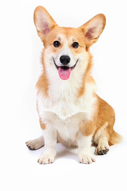 corgi pembroke pembroke hund - welsh corgi pembroke stock-fotos und bilder