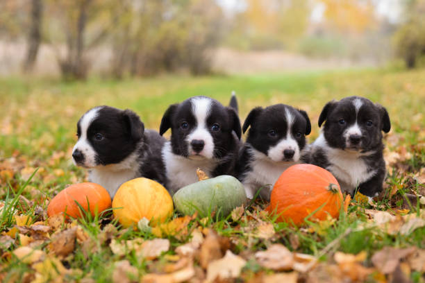 corgi puppies dogs with a pumpkin on an autumn background stock photo
