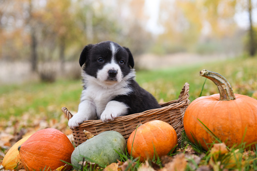 funny welsh corgi pembroke puppy dog posing in the basket with pumpkins on an autumn background
