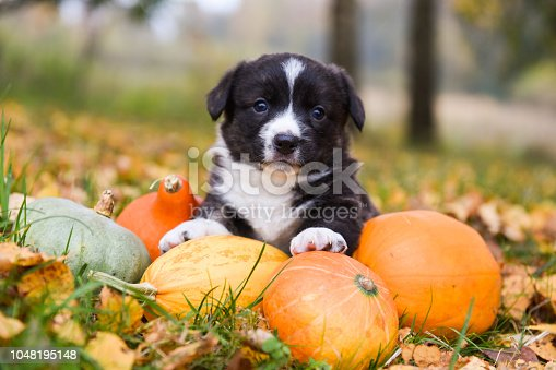funny welsh corgi pembroke puppy dog posing with pumpkins on an autumn background