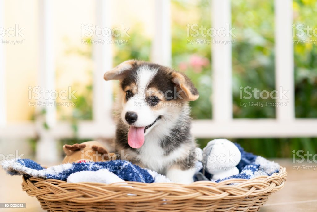 Corgi puppy or dog sitting in a basket in a sunny day happily stock photo