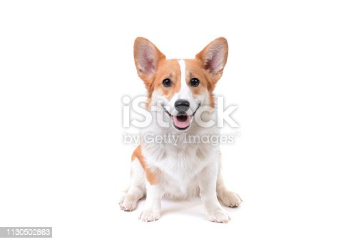 cute puppy pembroke welsh corgi sitting white background