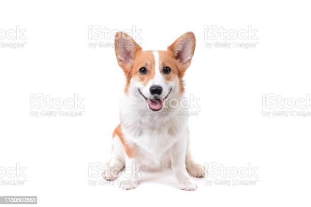 Corgi puppy sitting down picture id1130502863?b=1&k=6&m=1130502863&s=612x612&h=i7xeb5w9jwbg9wumbecokyhw6px5vzkjdaarbsn1lp8=