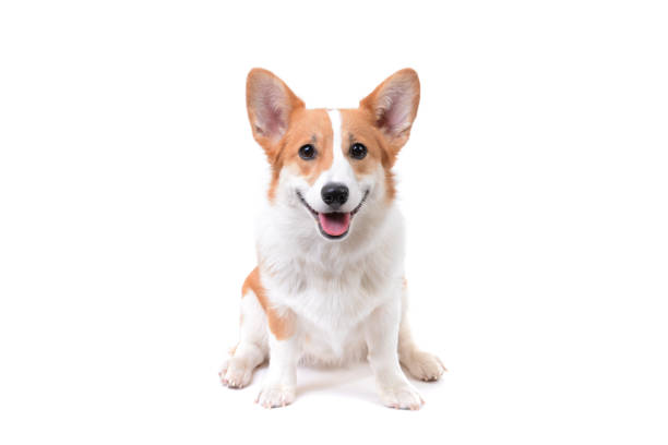 corgi puppy sitting down - sitting stock pictures, royalty-free photos & images