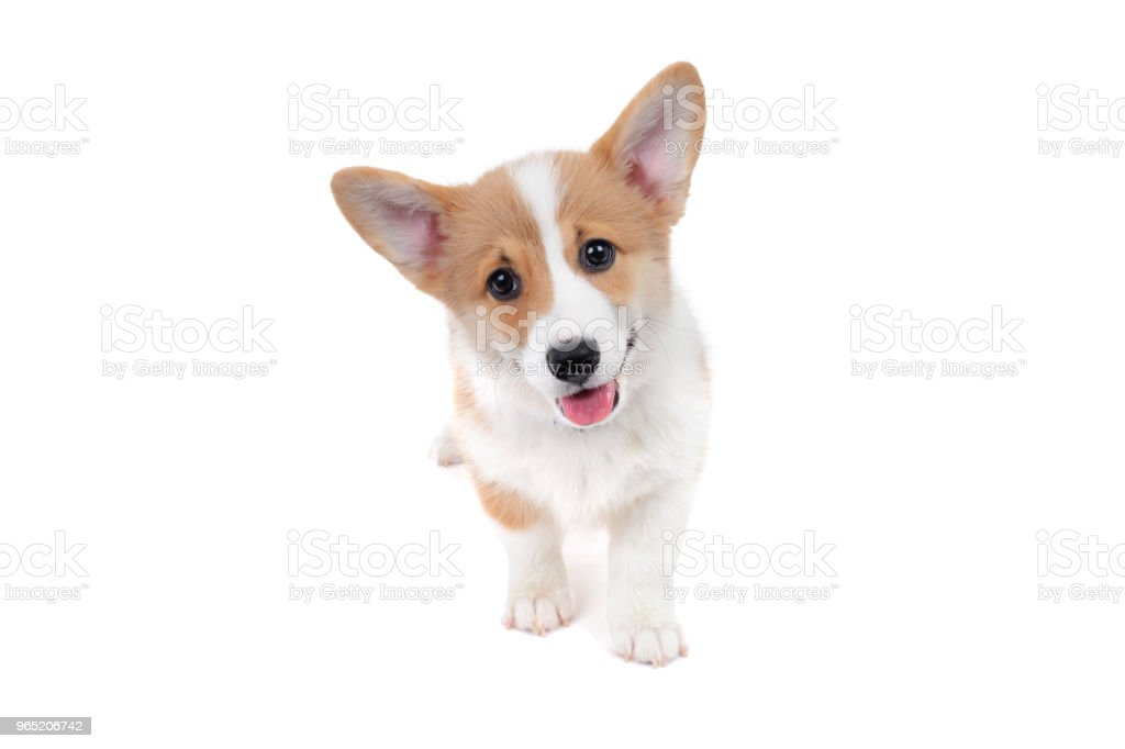 corgi puppy with a happy expression royalty-free stock photo