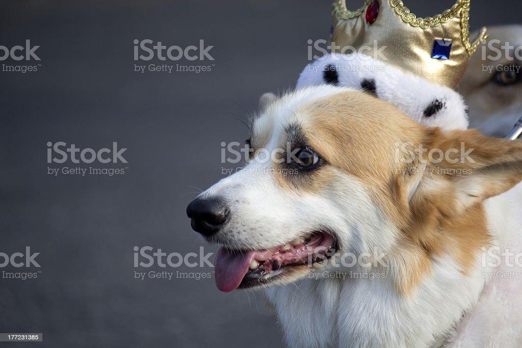Corgi wearing a crown stock photo