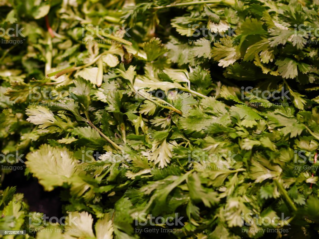 Coriander, also known as cilantro or Chinese parsley, is an annual herb in the family Apiaceae stock photo