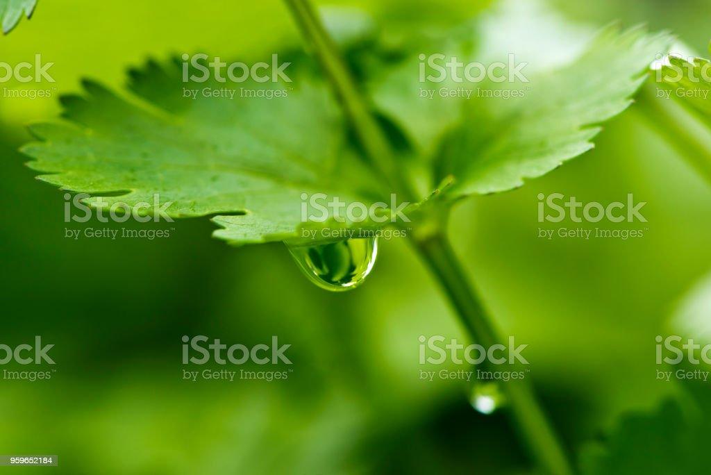 Cilantro, también conocido como cilantro o perejil chino - Foto de stock de Agua libre de derechos