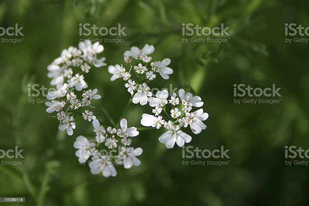 coriander flower royalty-free stock photo