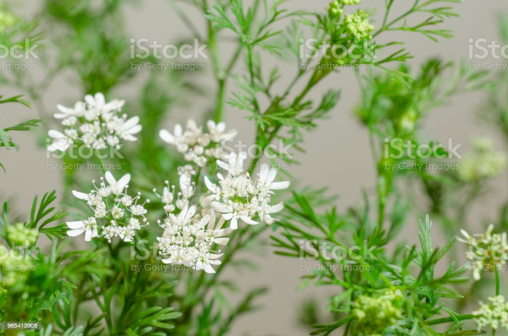Coriander flowers close up royalty-free stock photo