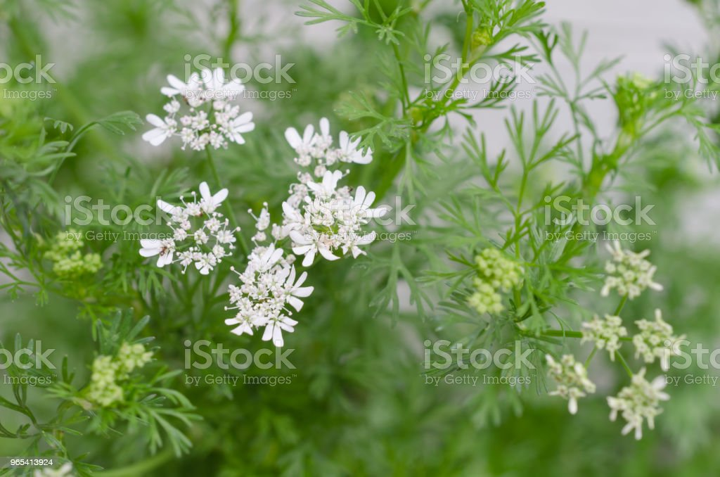 Coriander flowers close up zbiór zdjęć royalty-free