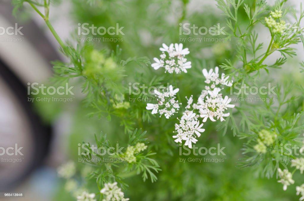 Coriander flowers close up royalty-free stock photo