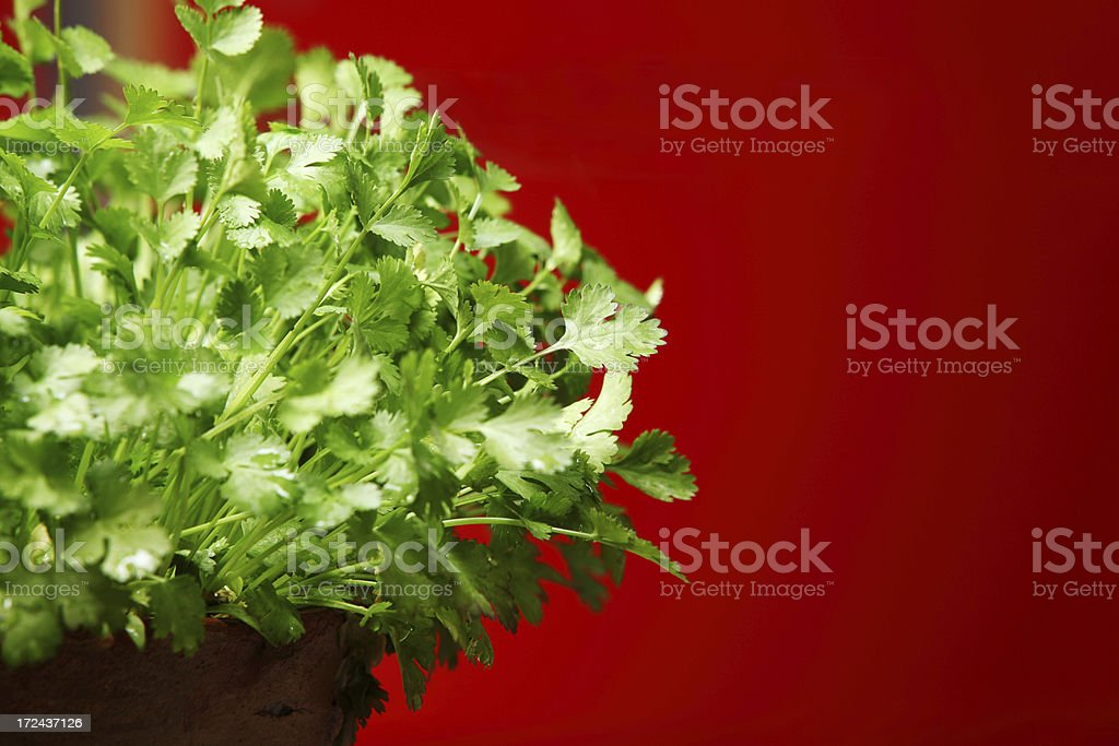 Coriander Herb growing in Pot Kitchen Garden stock photo