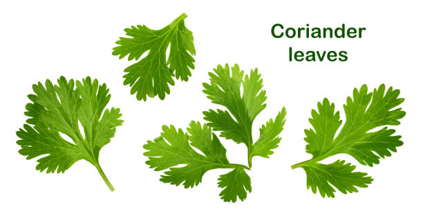 Coriander leaf isolated without shadow Coriander leaf isolated without shadow cilantro stock pictures, royalty-free photos & images
